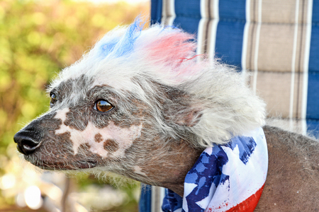 close up of Chinese Crested Hairless dog with dyed fur and patriotic flag scarf