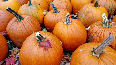 autumn leaves on orange pumpkins in pumpkin patch