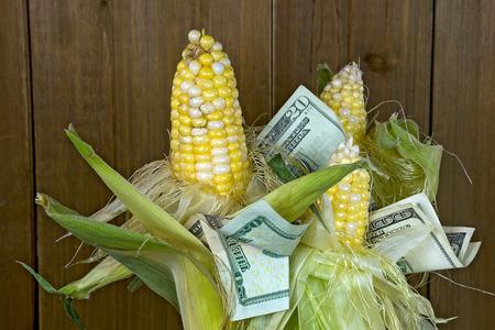American paper money in fresh corn on the cob bunch