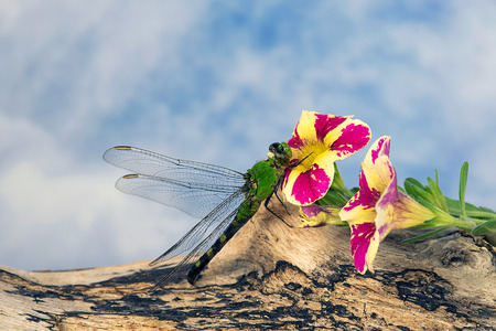 close up of green dragonfly on petunia with sky background Stock Photo