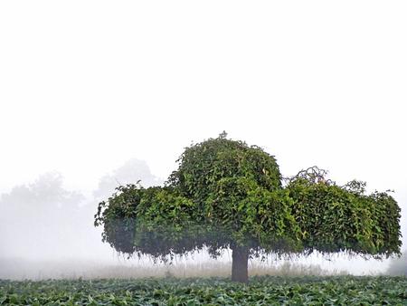 single green tree in rural field in morning mist Stock Photo
