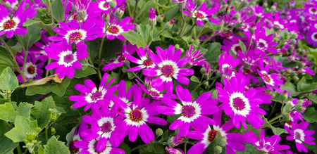bright pink and white daisy plant in summer garden