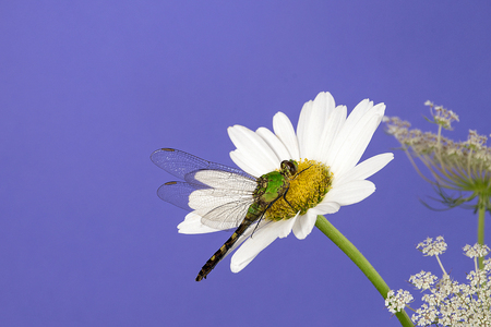 close up of green dragonfly on white daisy with purple background