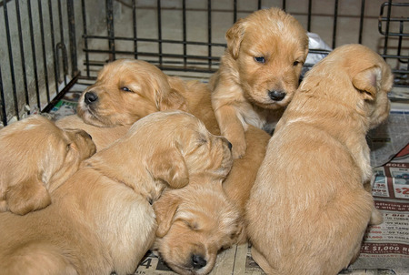 Golden retriever puppies in a cage on a newspaper Stock Photo
