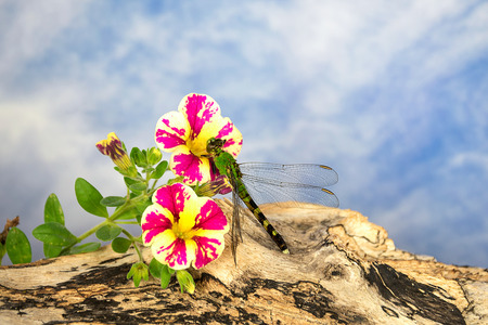 green dragonfly and summer petunia on rustic log