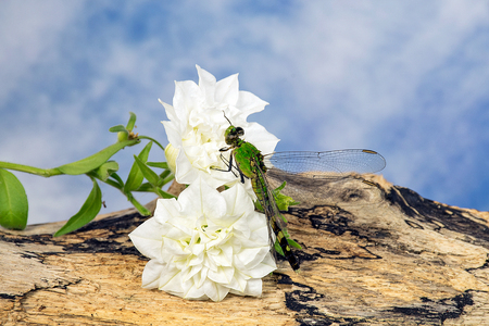 Close up of green dragonfly on white Calibrachoa flower on driftwood