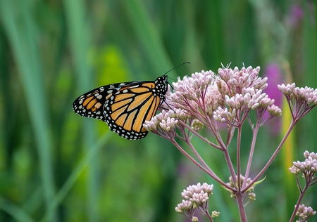 close up of monarch butterfly feeding on pink milkweed blossom Stock Photo