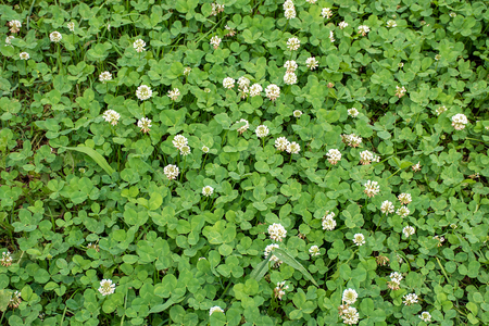 green clover with white flowers in rural meadow Stock Photo