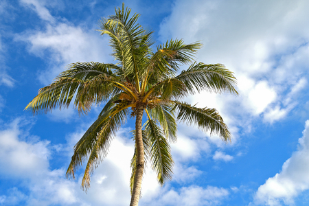 Underside view of tropical palm tree with coconuts afternoon clouds in blue sky