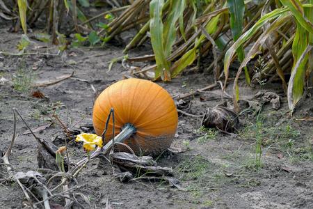 autumn orange pumpkin growing on vine with flower in dirt