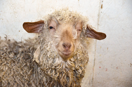 winking ewe with dirty curly wool in barn stall Stock Photo