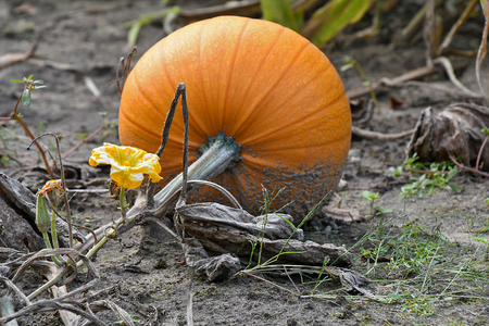 growing orange pumpkin on the ground in dirt with flower Stock Photo