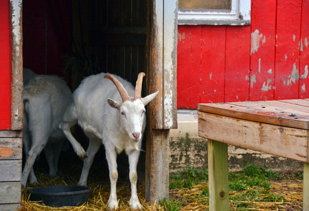 white goat standing in doorway of red barn