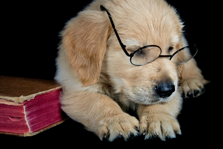 cute golden retriever puppy with eye glasses and worn hardcover book
