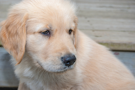 close up of blond golden retriever puppy with rustic wood background Stock Photo