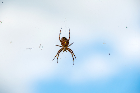 close up of brown cross spider with bugs in web on sky background