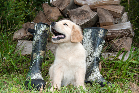 blond golden retriever puppy with camouflage hunting boots and woodpile
