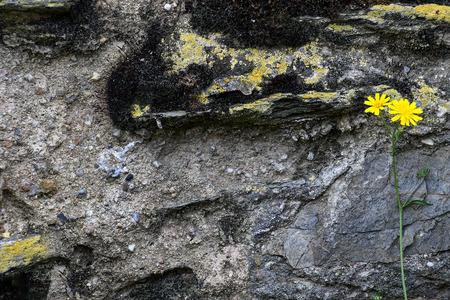 bright yellow wildflower on weathered gray rock wall Stock Photo