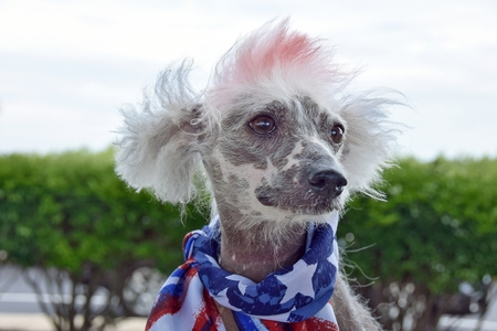 portrait of Chinese Crested Hairless dog wearing patriotic flag scarf