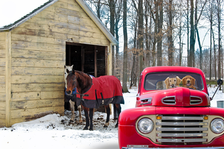 golden retriever dogs in red retro pickup truck and horses by rural barn in winter