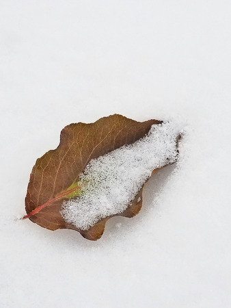 close up of dried brown leaf covered with snow Stock Photo