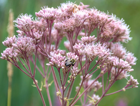 close up of bumble bee on pink flowering milkweed plant Stock Photo