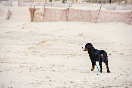 Bernese Mountain dog with loose leash standing on beach sand Stock Photo