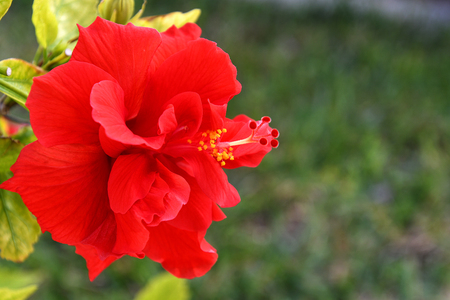 close up of ornamental red hibiscus flower