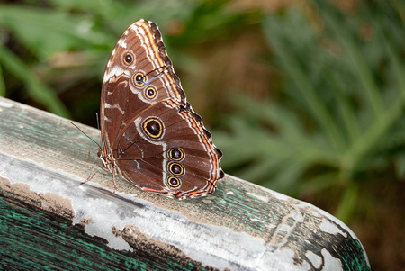 close up of blue morpho butterfly on rustic wooden railing