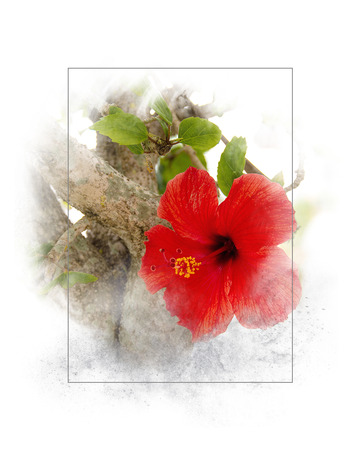 close up of red hibiscus flower in soft textured gray frame isolated on white background Imagens