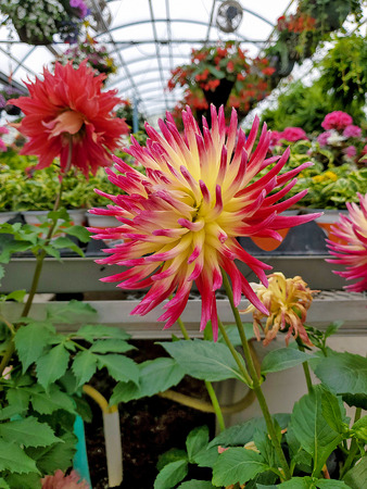 close up of bold red and yellow spiky dahlia plant in greenhouse