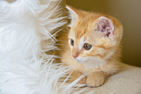 close up o orange tabby kitten with white fake fur pillow