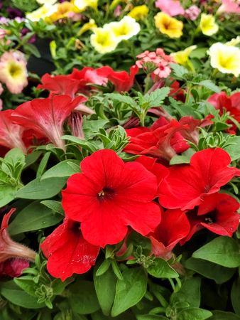 close up of red petunias in flower garden