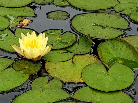 yellow water lily with lily pads floating on water