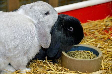 silver and black lop-eared rabbits with food pellets in dish on straw