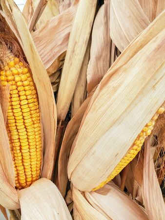 close up dried corn on the cob in plant leaves Stockfoto