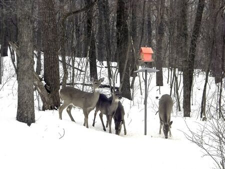 white tailed deer herd under red birdhouse in Michigan winter woods