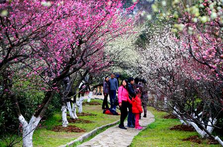 Plum blossom at park