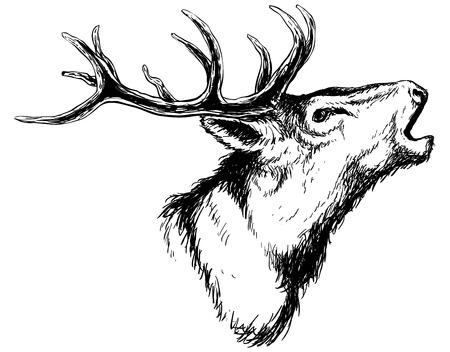 hand getrokken beeld van grote witte staartbok hoofd met grote geweien white-tail herten vector illustratie dier op een witte achtergrond voor de jacht producten billboards website, wildlife schets clipart