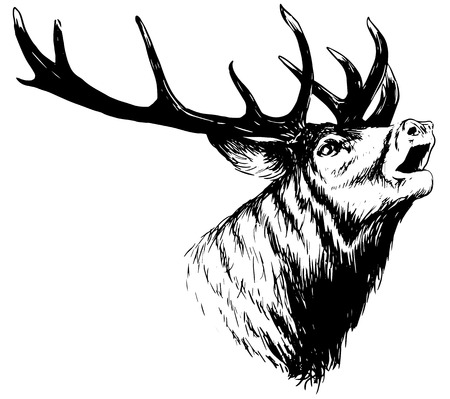 deer buck: hand drawn image of big white tail buck head with large antlers white-tail deer vector illustration animal isolated on white background for hunting products billboards website, wildlife sketch clipart