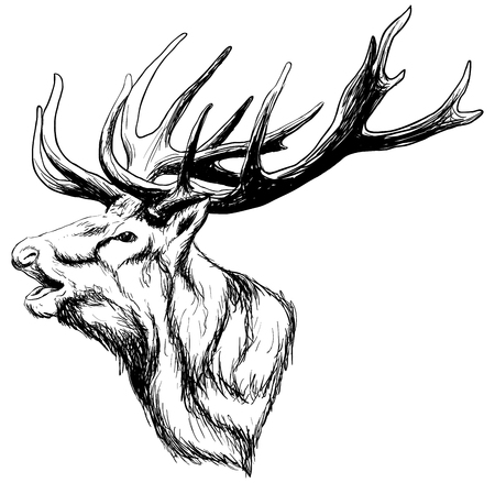 hand drawn image of big white tail buck head with large antlers white-tail deer vector illustration animal isolated on white background for hunting products billboards website, wildlife sketch clipart