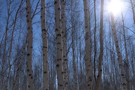 The white birch forest