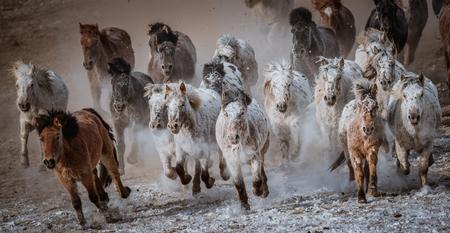 Mongolian horses galloping Banco de Imagens