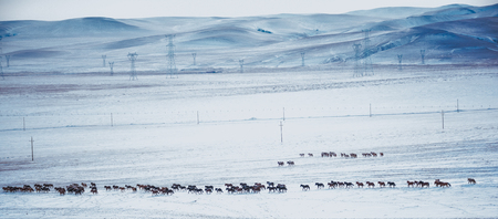 Horses grazing in a snow field