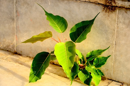 little bodhi tree photo