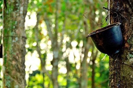 rubber tree and old cup Stock Photo - 12928935