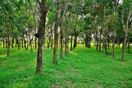 rubber: rubber tree garden