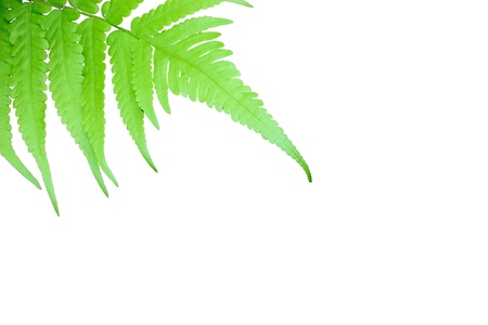 green leave on white background Stock Photo