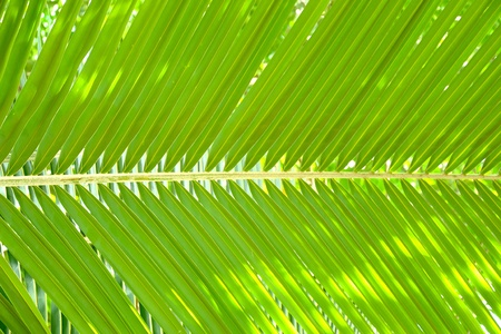 cycadaceae: coconut leaves