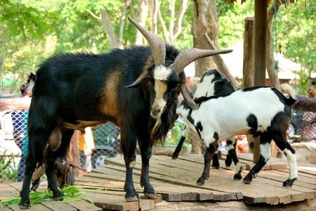 he goat: goat